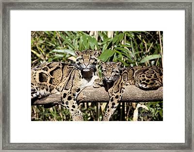 Clouded Leopards Framed Print
