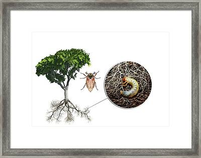 Cockchafer And Beech Tree Framed Print