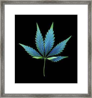 Color Photogram Print Of A Cannabis Leaf Framed Print by Stock Pot Images