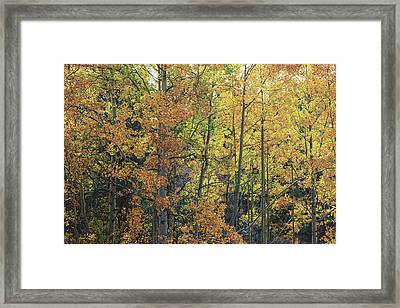 Colorful Changing Aspens - Divide Colorado Framed Print