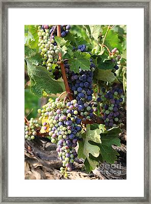 Colorful Grapes Framed Print
