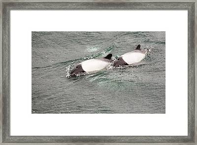 Commerson's Dolphin Framed Print