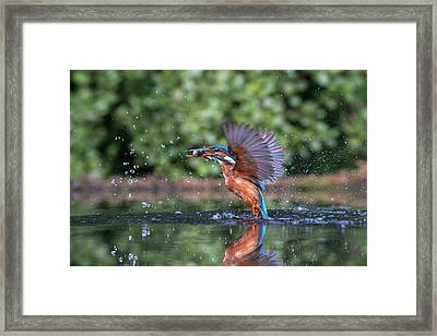 Common Kingfisher Catching A Fish Framed Print by Dr P. Marazzi