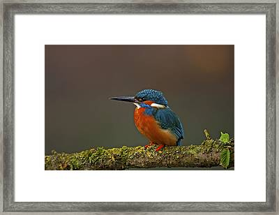 Common Kingfisher Framed Print by Paul Scoullar
