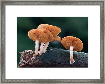 Common Rustgill Fungus Framed Print by Nigel Downer
