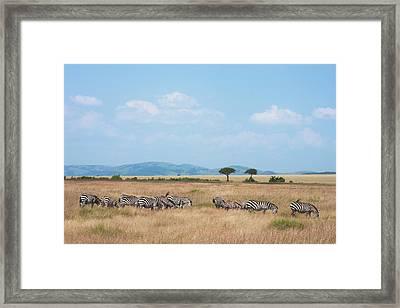 Common Zebra (equus Quagga Framed Print by Keren Su