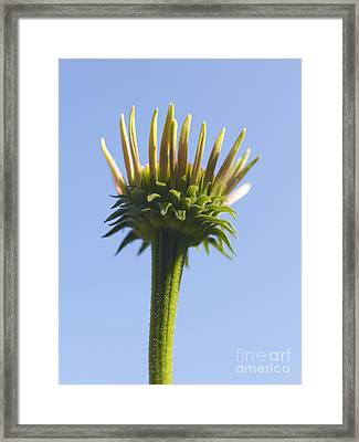 Cornflower Framed Print by Tony Cordoza