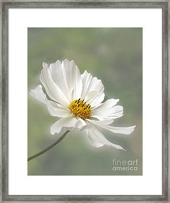 Cosmos Flower In White Framed Print