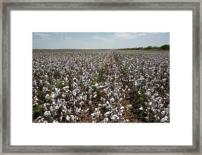 Cotton Plants Framed Print