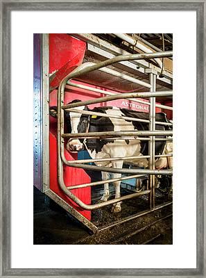 Cow In Milking Machine Framed Print