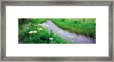 Cow Parsnip Heracleum Maximum Flowers Framed Print