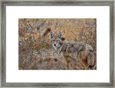 Coyote Eyes Framed Print