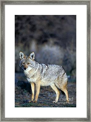 Coyote Framed Print by Mark Newman
