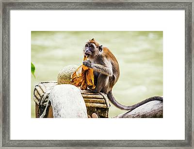 Crab-eating Macaque Framed Print by Paul Williams