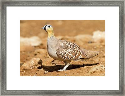 Crowned Sandgrouse Pterocles Coronatus Framed Print by Photostock-israel