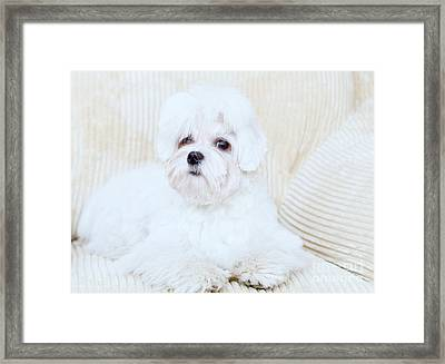 Cute Maltese Framed Print by Monika Wisniewska