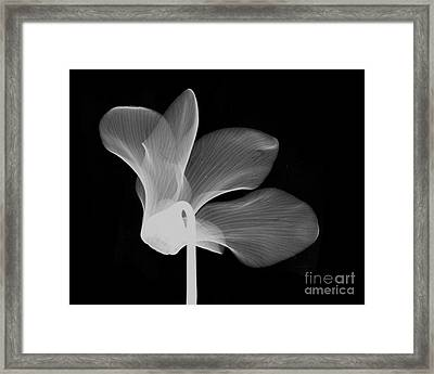 Cyclamen Flower X-ray Framed Print by Bert Myers