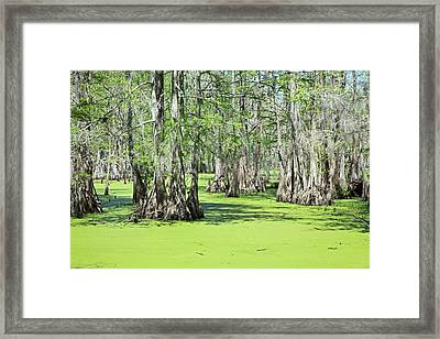 Cypress Island Preserve Framed Print by Jim West
