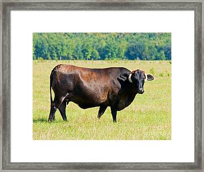 Dairy Cow Framed Print by Millard H. Sharp