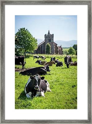 Dairy Cows Framed Print
