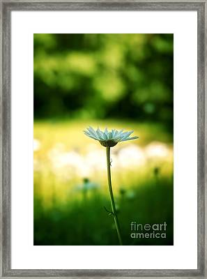 Daisy Framed Print by HD Connelly