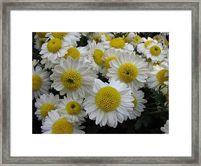 Daisy Like Flowers 1 Framed Print