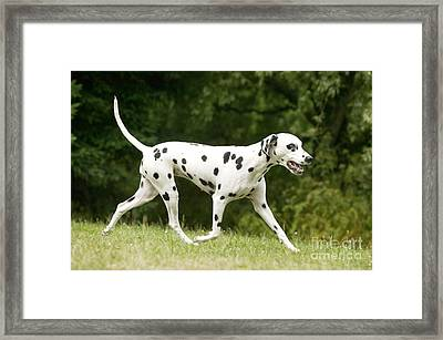 Dalmatian Dog Framed Print by Jean-Michel Labat