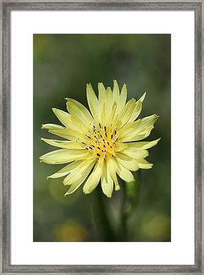Dandelion Framed Print by Ester  Rogers