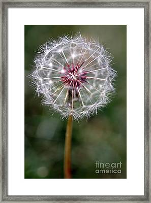 Framed Print featuring the photograph Dandelion Seed Head by Henrik Lehnerer
