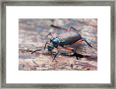 Darkling Beetle Framed Print by Melvyn Yeo