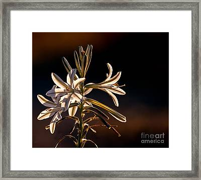 Desert Easter Lily Framed Print by Robert Bales