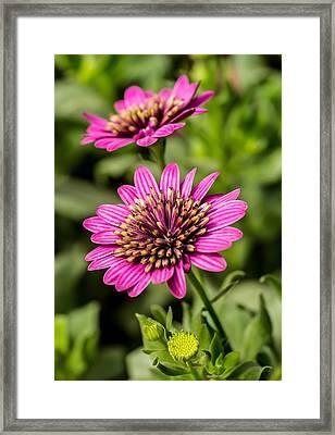 Desert Flower Framed Print by Pete Mecozzi