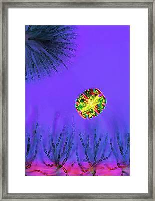 Desmid And Red Algae Framed Print