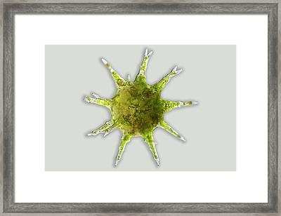 Desmid Zygote Framed Print