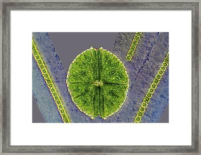 Desmids, Light Micrograph Framed Print