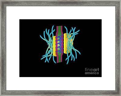 Desmosome Cell Junction, Artwork Framed Print by Francis Leroy, Biocosmos