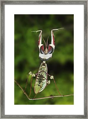 Devils Praying Mantis In Defensive Framed Print