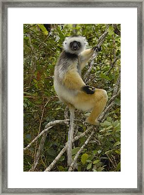 Diademed Sifaka Madagascar Framed Print by Pete Oxford