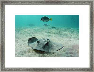 Diamond Stingray (dasyatis Brevis Framed Print