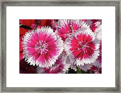 Dianthus 'summer Splash' Flowers Framed Print by Ann Pickford