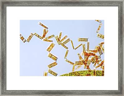Diatoma Diatoms Framed Print by Gerd Guenther