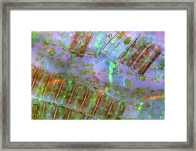 Diatoma Diatoms Framed Print by Marek Mis