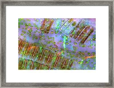 Diatoma Diatoms Framed Print