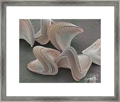 Diatoms Framed Print
