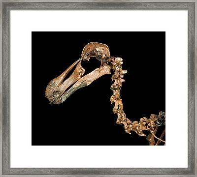 Dodo Skeleton Framed Print