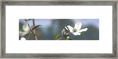 Dogwood Framed Print by Cynthia Decker
