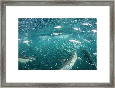 Dolphins Hunting Sardines Framed Print