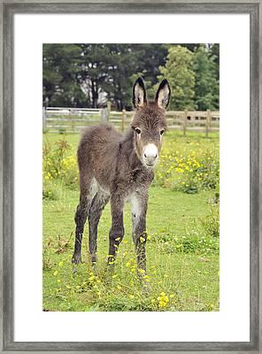 Donkey Baby Framed Print