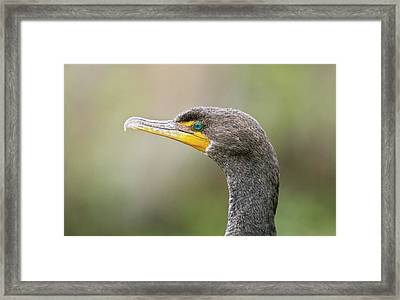 Double-crested Cormorant Framed Print by Bob Gibbons