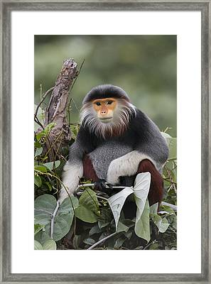 Douc Langur Male Vietnam Framed Print by Cyril Ruoso